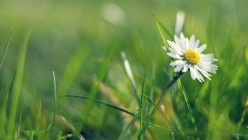 daisy-wallpaper-2780-2969-hd-wallpapers