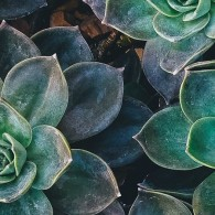 succulent-cropped